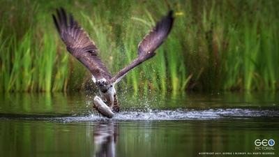 Osprey Hit