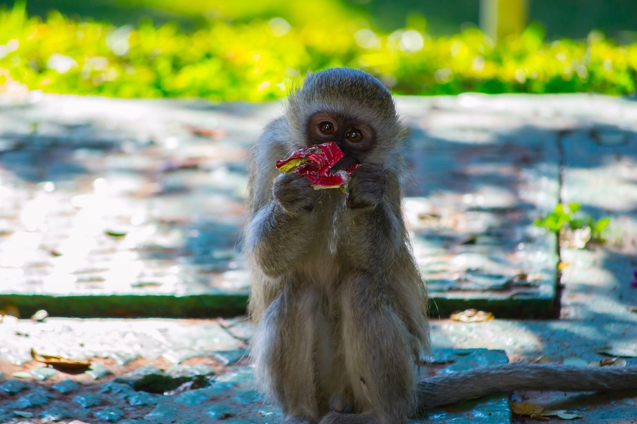 Young monkey caught eating coffee creamer