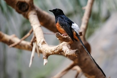 FUENGIROLA, ANDALUCIA-SPAIN - JULY 4 : White-rumped Shama (Copsychus malabaricus) at the Bioparc Fuengirola Costa del Sol Spain on July 4, 2017