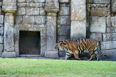 FUENGIROLA, ANDALUCIA-SPAIN - JULY 4 : Sumatran Tiger at the Bioparc in Fuengirola Costa del Sol Spain on July 4, 2017