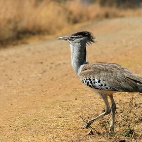 he kori bustard (Ardeotis kori) is the largest flying bird native to Africa.
