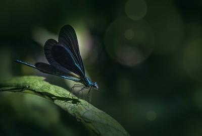 BlueFirefly