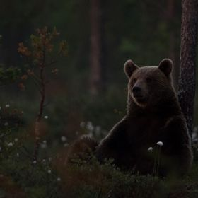 Relaxing, brown bear Finland
