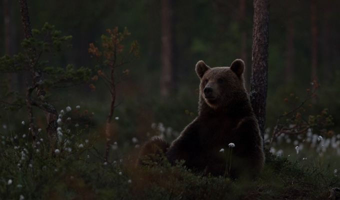 Relaxing, brown bear Finland by wenchemyhre - Wildlife Photo Contest 2017