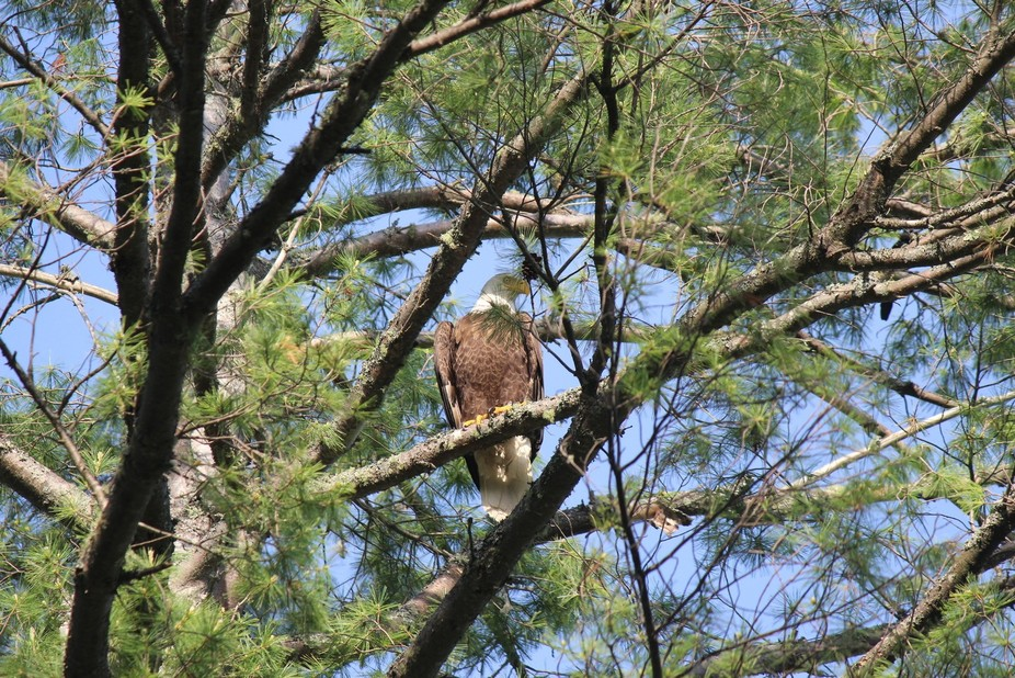 There is an Eagle that has made a nest over where I camp in the summer now!