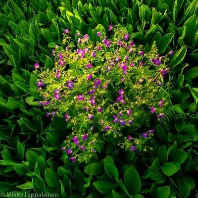 Metsäkurjenpolvi - Forest Geranium