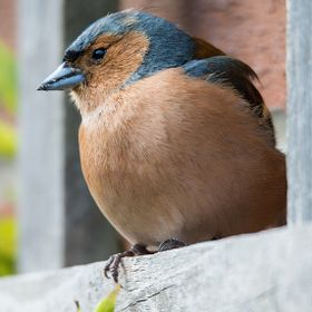 This little chap just stayed for the right amount of time to capture him..........chuffed with a chaffinch