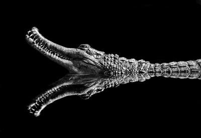 Crocodile reflection