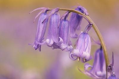 blue bellls