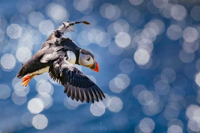 Puffin Flying  by chriscoles - Isolated Photo Contest