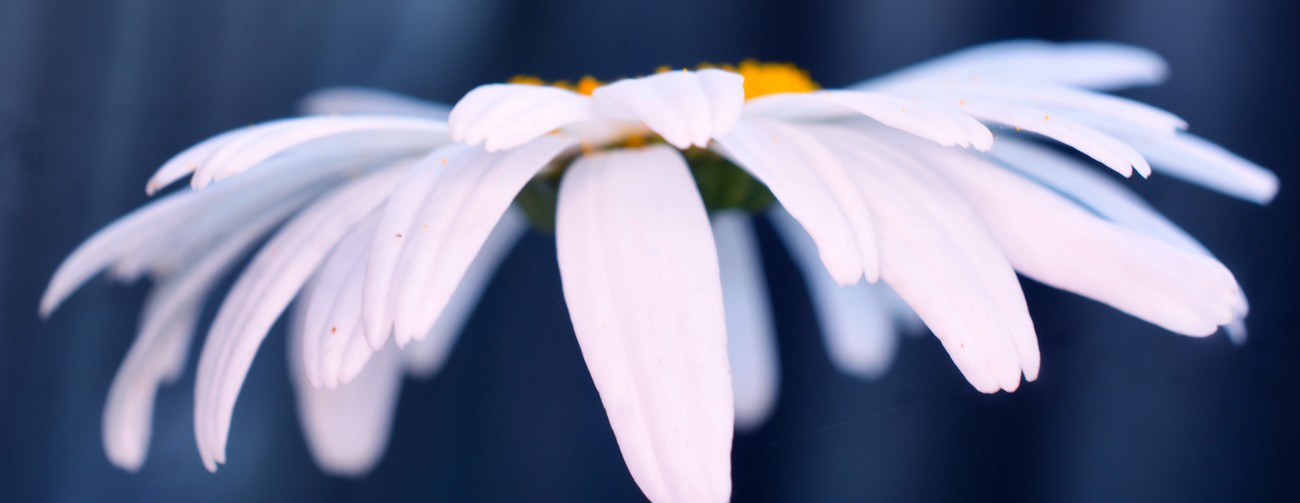 common daisy side view