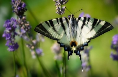 .. Scarce swallowtail (Iphiclides podalirius) ..