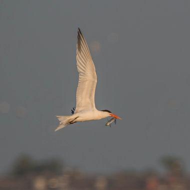 Tern with fish IMG_1563