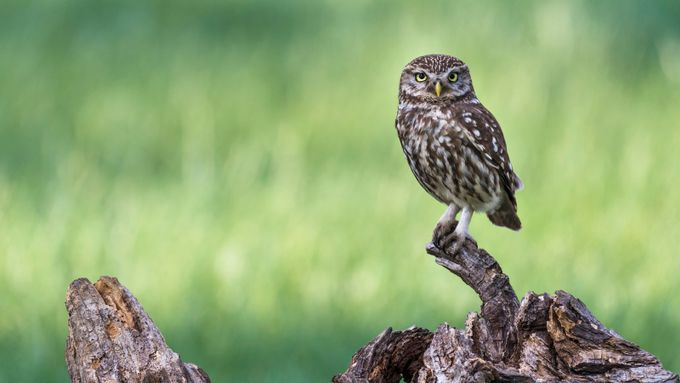 Athene Noctua - Little Owl  by eparanoia - Covers Photo Contest Vol 41