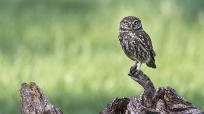 Athene Noctua - Little Owl