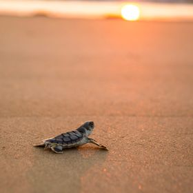 A turtle hatchling pauses to take a brief look at the setting sun on its way into the ocean for the first time. Captured on Baresand Island off t...