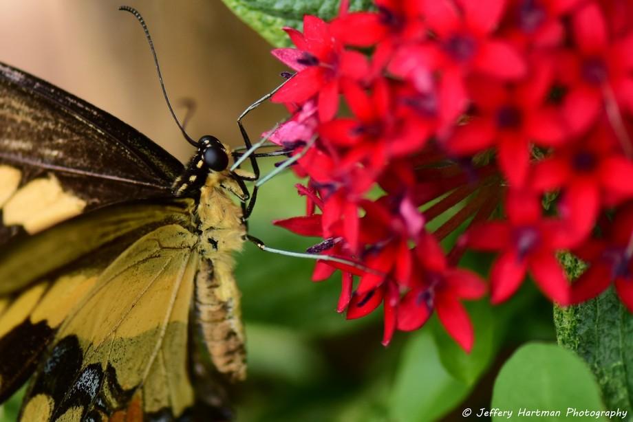 Giant Swallowtail 3