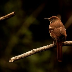 A brown thrasher sits on a branch in Williamsburg, Virginia.