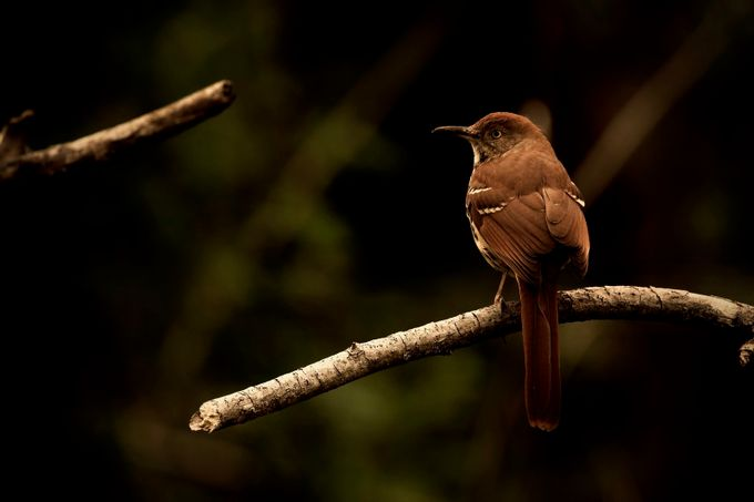 A Brown Thrasher  by rmorrisonphoto - The Brown Color Photo Contest