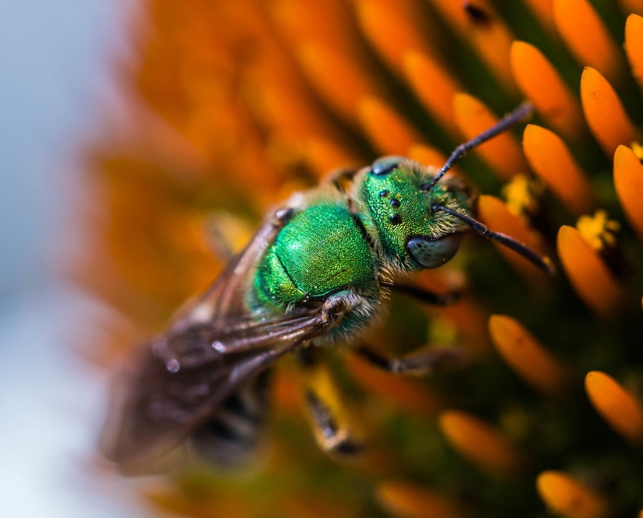 unknown green bee
