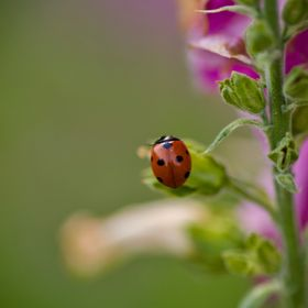 A ladybug on a foxglove plant in the spring.