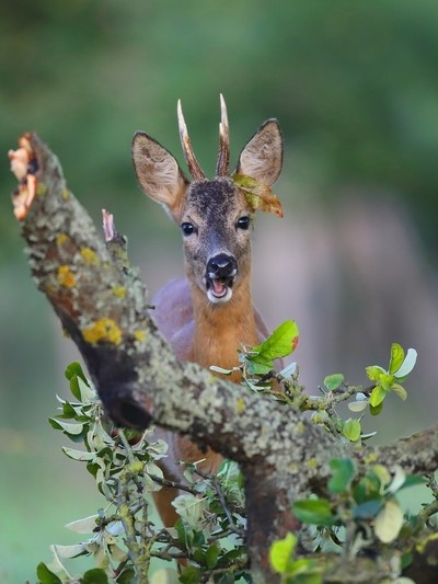 Buck feeding on Apple leaves 7M9A5766a