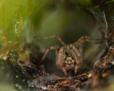 Labyrinth Spider