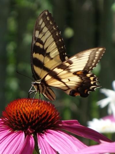Swallowtail 2017