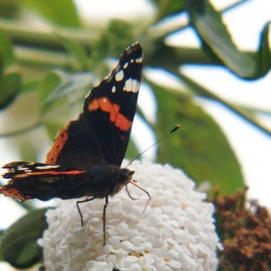 Red Admiral Butterfly on flowering bush