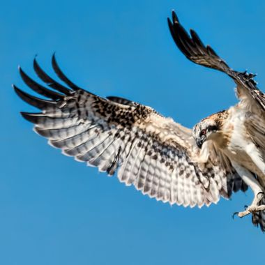 Flaring For A Landing - An Osprey Day