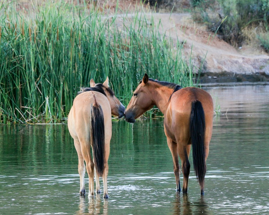 a couple Salt River Wild Horses showing love.