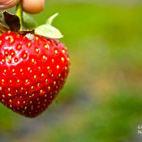 One of the tourist attraction in this summer capital of the Philippines is the strawberry plantation in the rural area. Tourists enjoy strawberry...