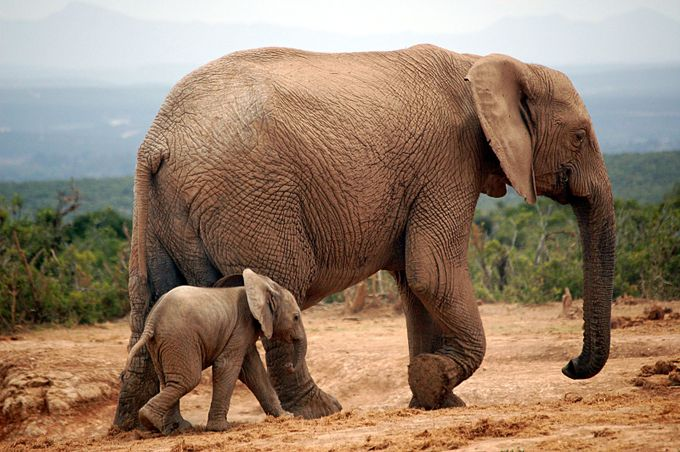 Elephant and mother by stephenthomson - Wildlife Photo Contest 2017