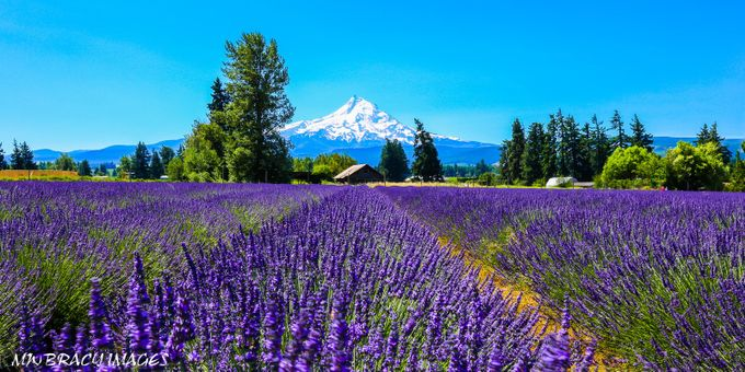 Lavender with Mt. Hood