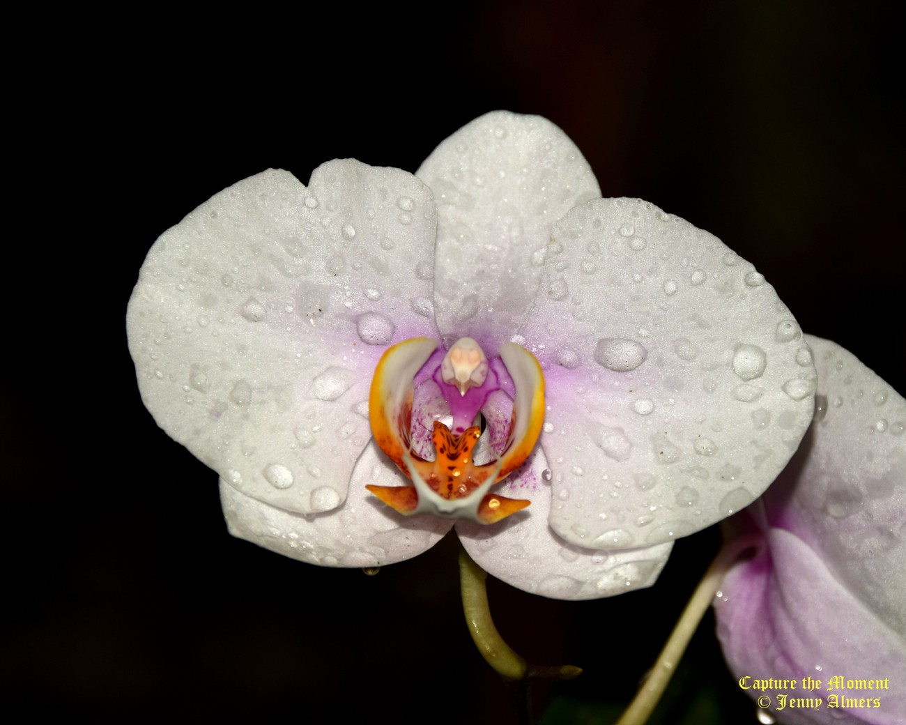 Orchid and Water Droplets