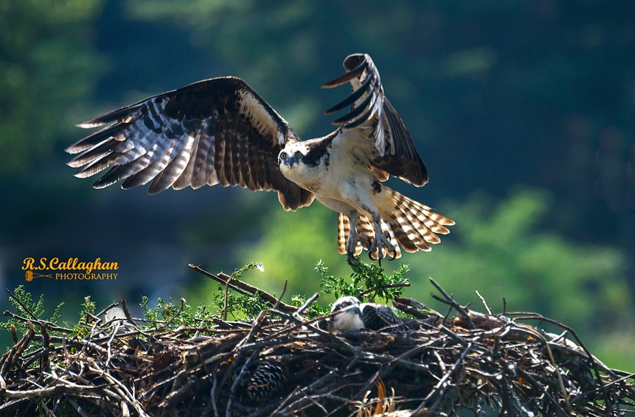 An adult osprey lifts off the nest containing one chick.