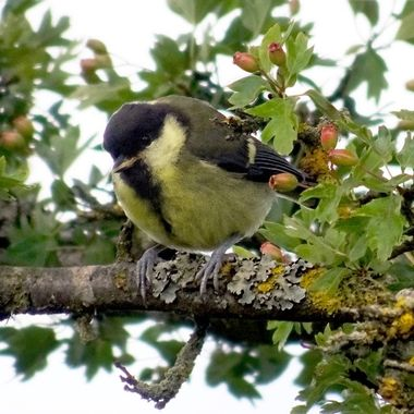Cheeky Great tit