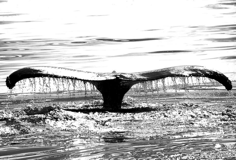 Humpback Tail in B&W