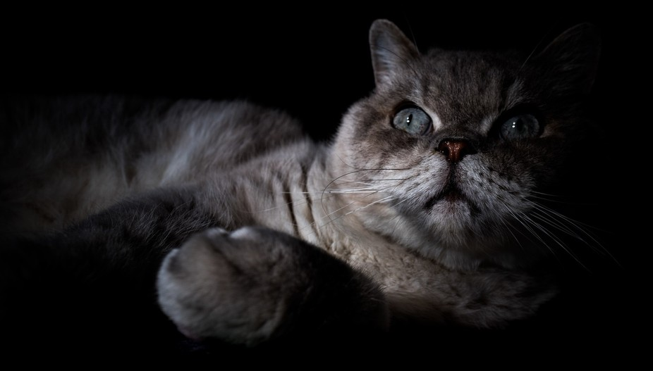 Low light portrait of a stunning exotic cat.