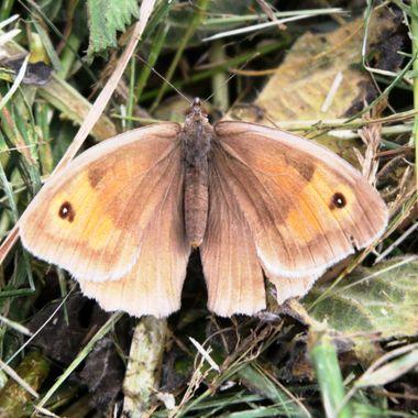 Female Meadow Brown Butterfly.