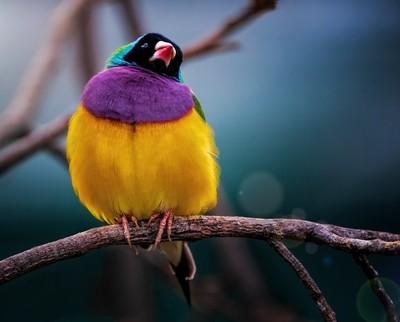 Gouldian Finch, Tasmania