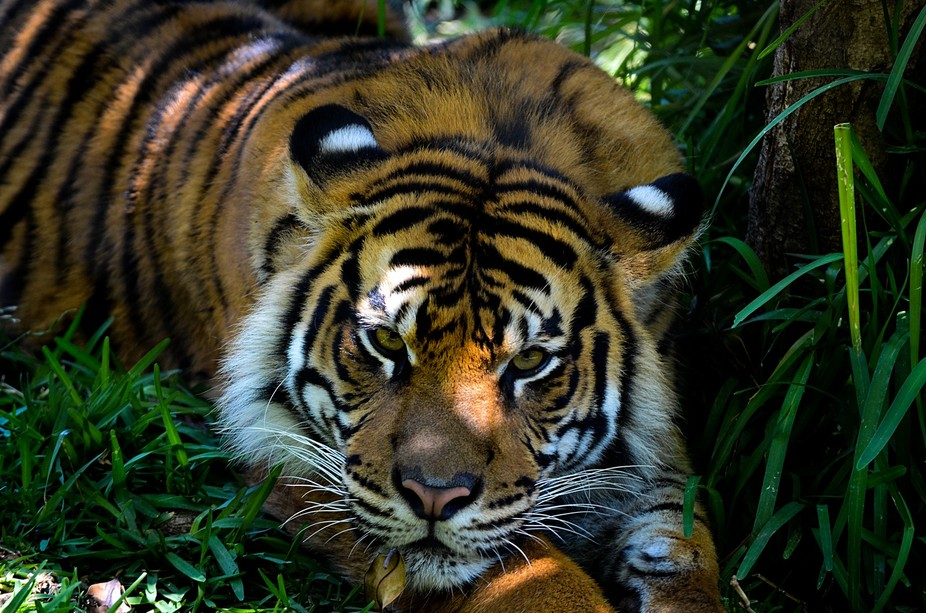 Sumatran Tiger at San Diego Zoo Safari Park.