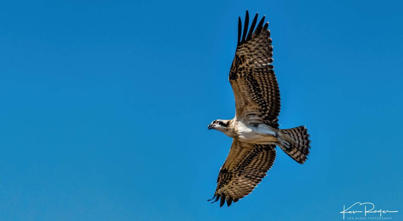 Soaring - Young Osprey Takes Flight - 1
