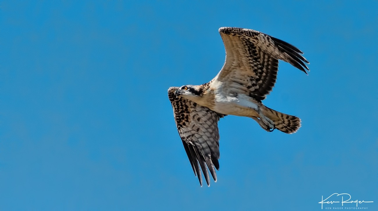 Soaring - Young Osprey Takes Flight - 2