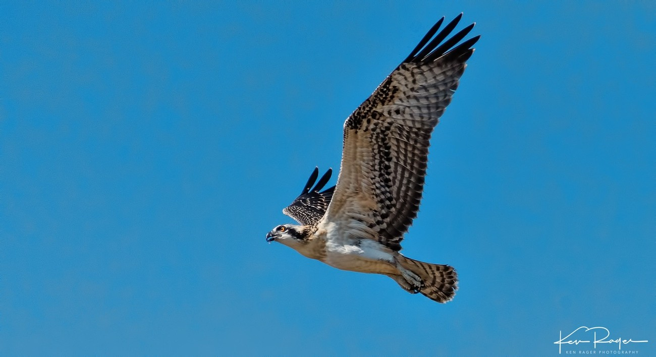 Soaring - Young Osprey Takes Flight - 3