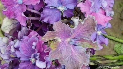 Curly Hydrangea Petals