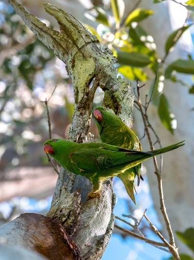 Scaly Breasted Lorikeets making themselves at home in a Gum tree