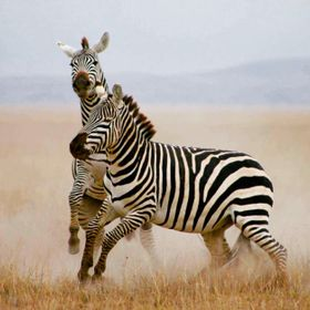 Two Male Zebras fighting for breeding rights. I took this at Amboseli Park, Kenya