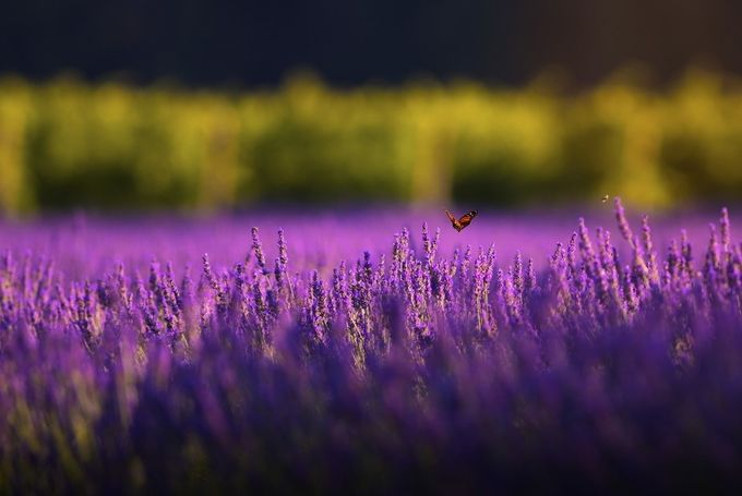 Monarch and the Lavender by Adam_Triska - Bright Colors In Nature Photo Contest