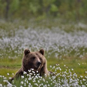 brown bears in finland-russia, so happy between the flowers enjoying their meal